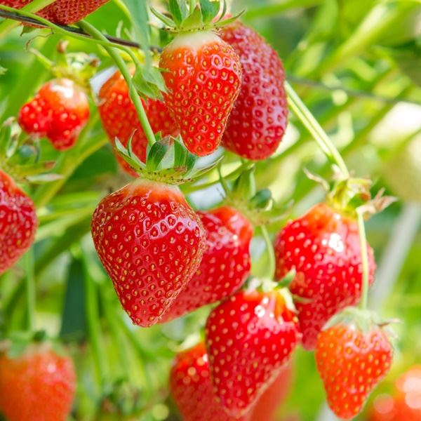 Effect of humic acid on strawberry.