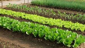 The application of humic acid in vegetable production.