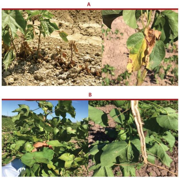 potassium humate uses in agriculture - Fulvic acid can improve the resistance of cotton.