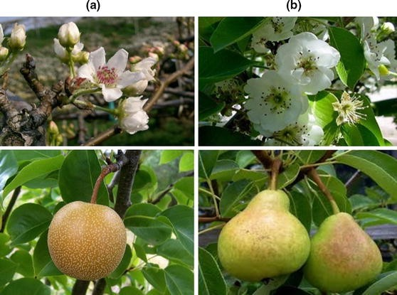 Spraying potassium fulvic acid (Other name: potassium fulvate, potassium humate) 3000-5000 times during the full-bloom period, all improved the fruit setting rate of YUANSHUAI, LUAO,JINGUAN apples and pears to varying degrees. The effect diminishes as the concentration decreases.