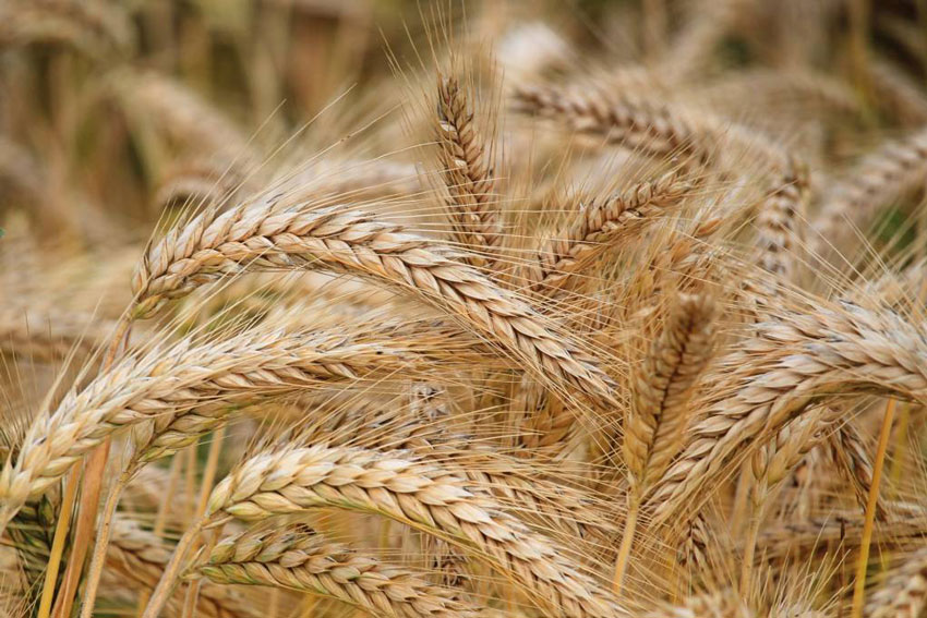 JINGFENG HUMIC ACID will explain to you: Practical application case of fulvic acid  potassium on wheat