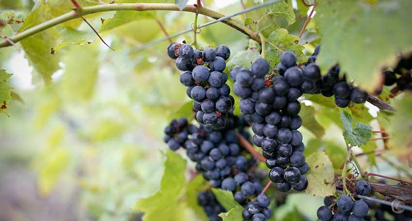 The effect test of potassium humic acid on grape