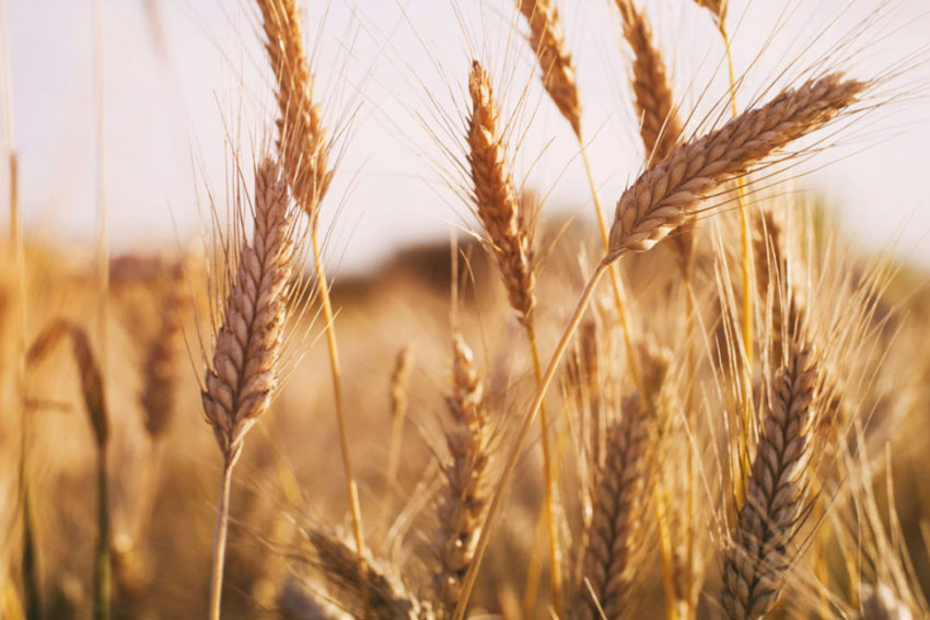 Observation on the Application Effect of Super Potassium Humate on Wheat